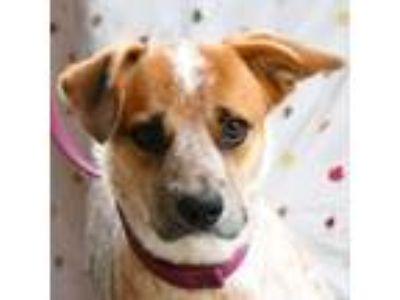 Adopt Topper a Cattle Dog, Pointer