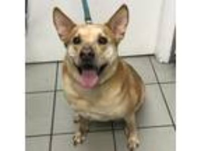 Adopt Mylah a Tan/Yellow/Fawn Australian Cattle Dog / Mixed dog in Tampa