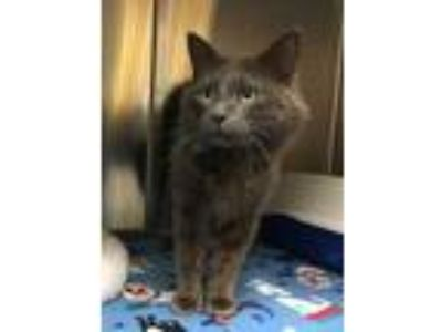 Adopt Cobalt a Gray or Blue Russian Blue / Domestic Shorthair / Mixed cat in