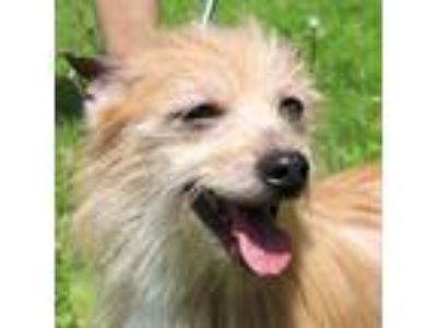 Adopt Tallulah a Tan/Yellow/Fawn Terrier (Unknown Type, Medium) / Mixed dog in