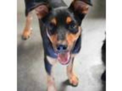 Adopt Pelko - Sponsored $25 a Black Rottweiler / Mixed dog in Bowling Green