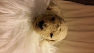 Goldendoodle PUPPY FOR SALE ADN-91898 - Blue Ridge Doodles