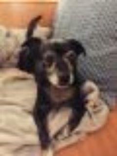 JACOB Chihuahua - Dachshund Dog