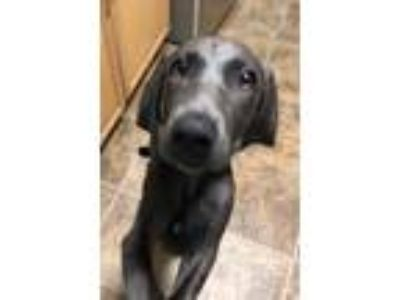 Adopt Blue April a Weimaraner / Mixed dog in Wheaton, IL (25906062)