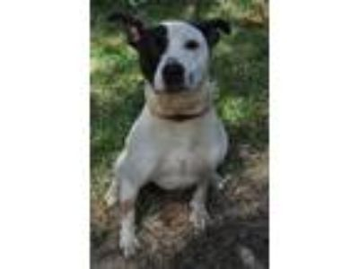 Adopt Canis a White - with Brown or Chocolate Pit Bull Terrier / Pointer / Mixed
