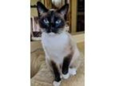 Adopt Libby a Gray or Blue Siamese / Domestic Shorthair / Mixed cat in Heber