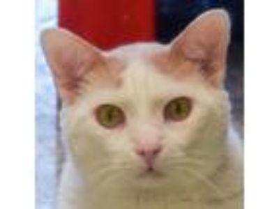 Adopt Peyton a Orange or Red (Mostly) Domestic Mediumhair / Mixed (medium coat)
