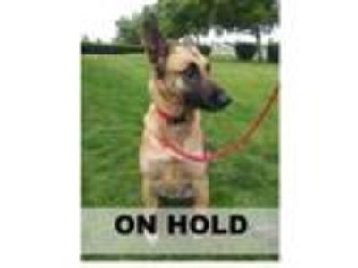 Adopt ROUZY a Tan/Yellow/Fawn Belgian Malinois / Mixed dog in Tangent