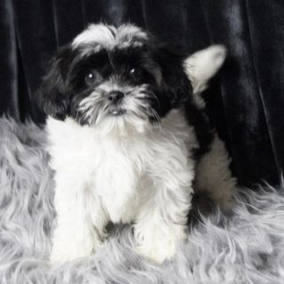 Zuchon PUPPY FOR SALE ADN-89893 - Adorable Teddy Bear Puppy Ready to go
