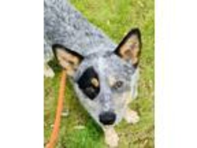 Adopt Jeep a Australian Cattle Dog / Blue Heeler, Mixed Breed