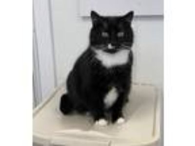 Adopt Neffee a Black & White or Tuxedo Domestic Shorthair (short coat) cat in