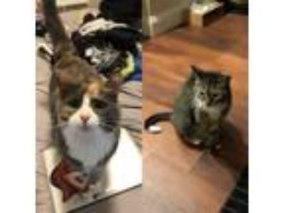 Adopt Gizmo a Spotted Tabby/Leopard Spotted American Shorthair / Mixed cat in