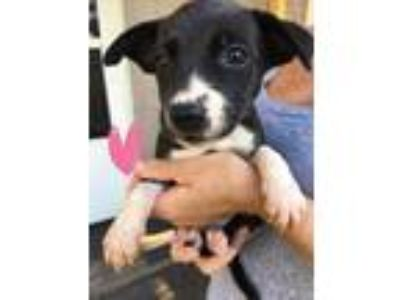 Adopt Shenzi a Black - with White Catahoula Leopard Dog / Border Collie / Mixed
