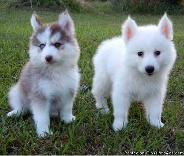 Super Adorable Akc Pomsky Puppies For Adoption