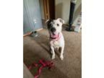 Adopt Marshmallow a White - with Black American Pit Bull Terrier / American
