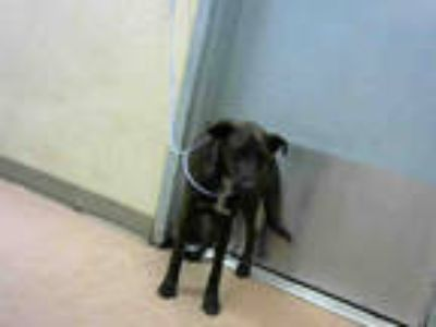 Adopt BARLEY a Brown/Chocolate - with White Labrador Retriever / Mixed dog in
