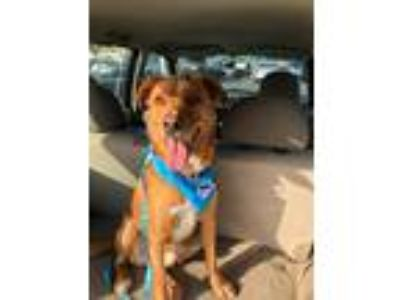 Adopt Ranger a Red/Golden/Orange/Chestnut Retriever (Unknown Type) dog in Garden