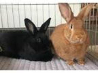 Adopt Clint (bonded to Twyla) a Bunny Rabbit, New Zealand