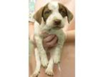 Adopt Kamila a Border Collie, Beagle