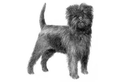 Affenpinscher Puppies