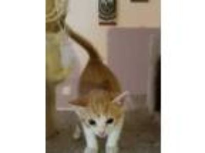 Adopt Avery a Orange or Red Domestic Shorthair / Domestic Shorthair / Mixed cat