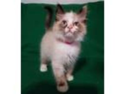Adopt Dahlia a Domestic Mediumhair / Mixed cat in Norman, OK (25878918)