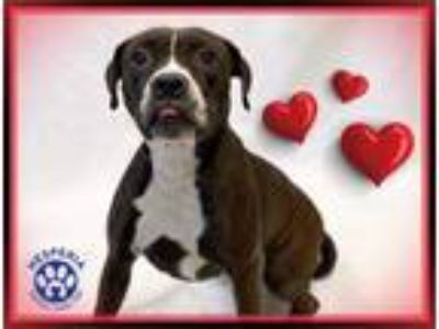 Adopt a Black - with White Boxer / Mixed dog in Hesperia, CA (25262218)