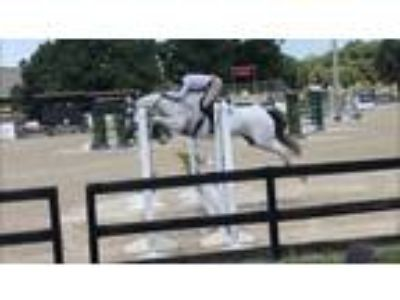 Oldenburg jumper mare