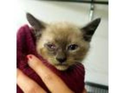 Adopt Lachey a Gray or Blue Siamese / Domestic Shorthair / Mixed cat in Amelia