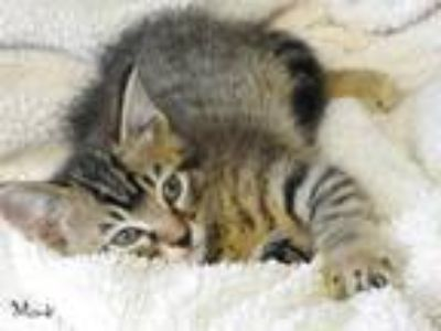 Adopt MONK a Gray, Blue or Silver Tabby Domestic Shorthair (short coat) cat in