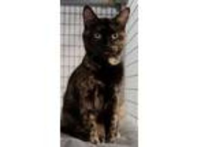 Adopt Valka a Domestic Short Hair