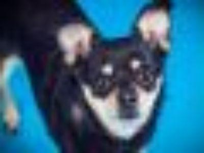 Dale* Miniature Pinscher - Chihuahua Dog