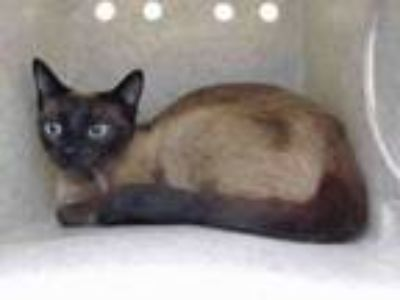 Adopt TINKA a Tonkinese, Domestic Short Hair