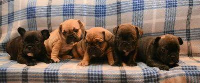French Bulldog PUPPY FOR SALE ADN-110037 - AKC French Bulldog Puppies