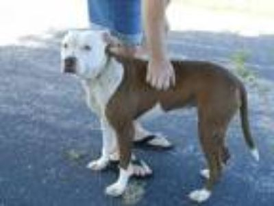 Adopt Venus - OWNER SURRENDER a American Staffordshire Terrier