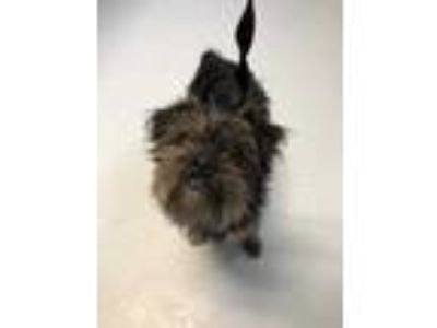 Adopt Paploo a Black Mixed Breed (Small) / Mixed dog in Boone, NC (25315853)