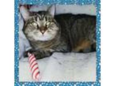 Adopt Tiny a American Shorthair