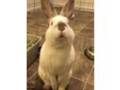 Adopt Vincent a White Californian / Mixed rabbit in Dayton, OH (23745250)