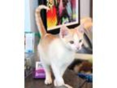 Adopt Curtis a Orange or Red Domestic Shorthair / Domestic Shorthair / Mixed cat