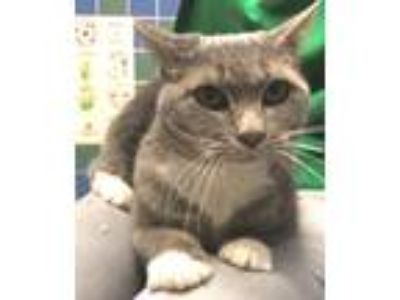 Adopt Miss Kitty a Gray or Blue (Mostly) Domestic Shorthair (short coat) cat in