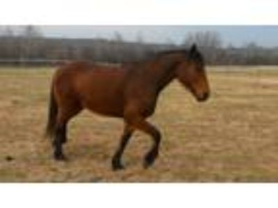 Beautiful ThoroughbredFriesianQuarter Horse Mare