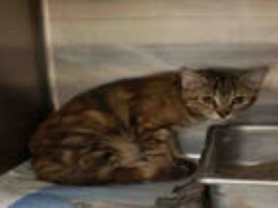Adopt JENNA a Brown Tabby Domestic Shorthair / Mixed (short coat) cat in