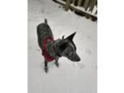 Adopt Travis a Gray/Silver/Salt & Pepper - with Black Australian Cattle Dog dog