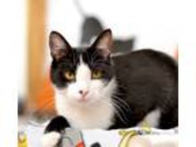 Adopt Norman a Domestic Shorthair / Mixed cat in Delaware, OH (24729223)