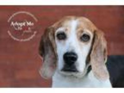 Adopt Beulah Beagle Girl a Beagle / Mixed dog in Barrington, RI (25492897)