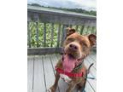 Adopt Aiden a Brown/Chocolate Mixed Breed (Large) / Mixed dog in Blackwood