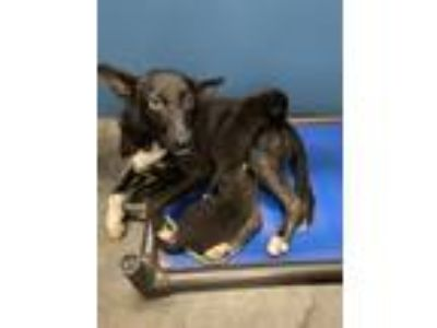 Adopt Chantilly & her 2 Pups a Black - with White Shepherd (Unknown Type) /