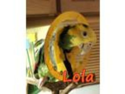 Adopt Lola a Amazon bird in Tampa, FL (23109949)