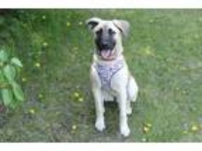 Adopt Jerica a German Shepherd Dog