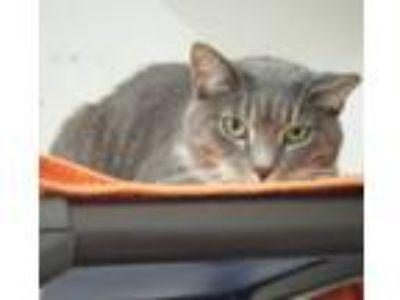 Adopt Barn Cats a Domestic Short Hair